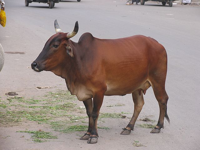 cow_eutherian_brown_beef